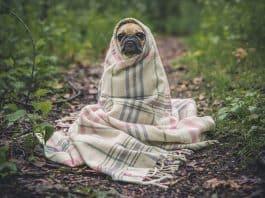 Mops Hund Haustier Tier Niedlich Verpackt Decke