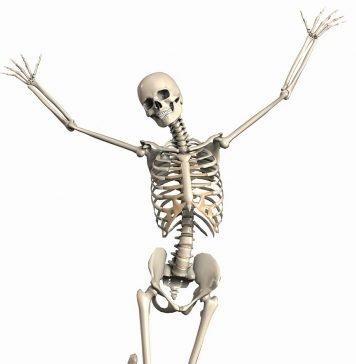 Skelett Weiblich Endoskelett Skelet Innenskelett