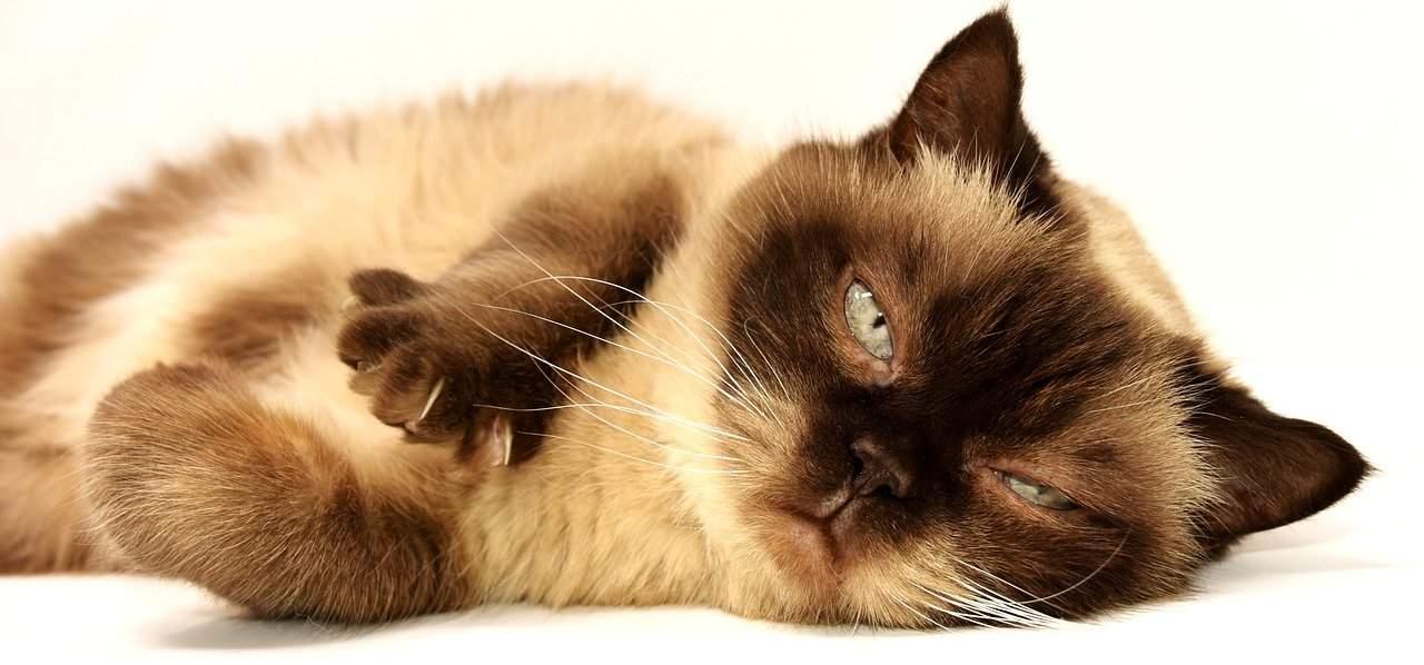 Britisch Kurzhaar Katze Haustier Mieze Britisch