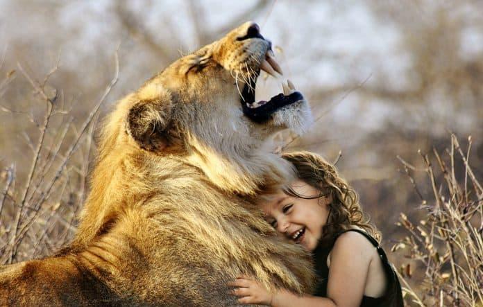 Löwe Brüllen Afrika Tier Wildkatze Wild Katze