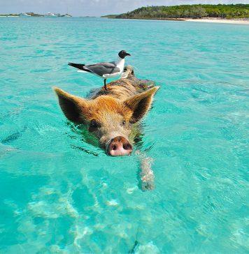 Staniel Cay Schwimmen Schwein Möwe Fisch Exumas