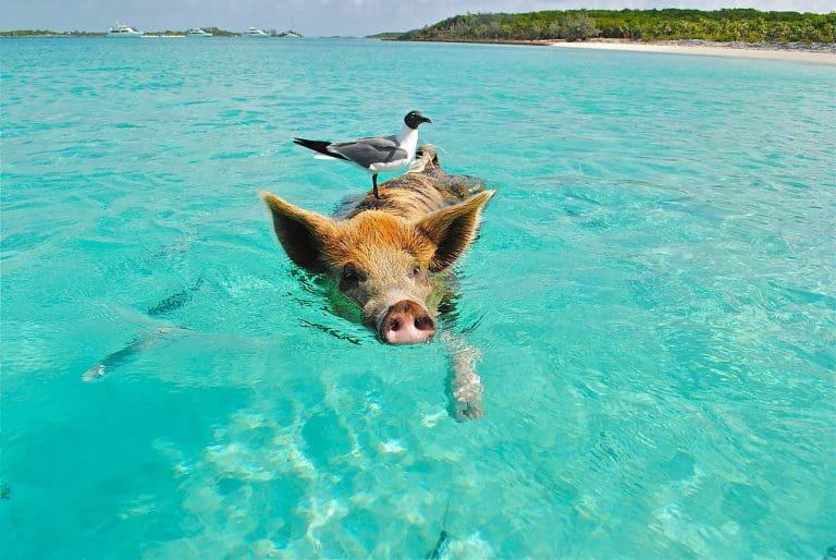 Schweine Grippe – Gefahr für die Familie?