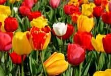 Tulpen Blumen Bunt Farbenprächtig Frühlingsblumen