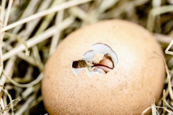 Schlüpfendes Küken Eierschale Durchbrechen Schnabel