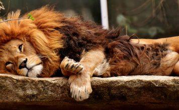 Löwe Raubtier Schlafen Gefährlich Mähne Raubkatze