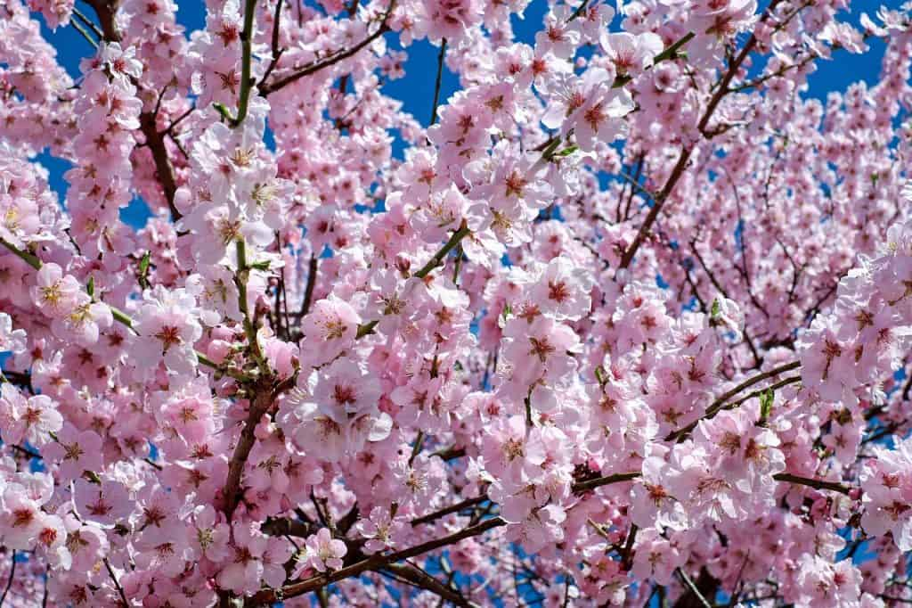 Japanische Zierkirsche Blüten Rosa Baum Blütenbaum