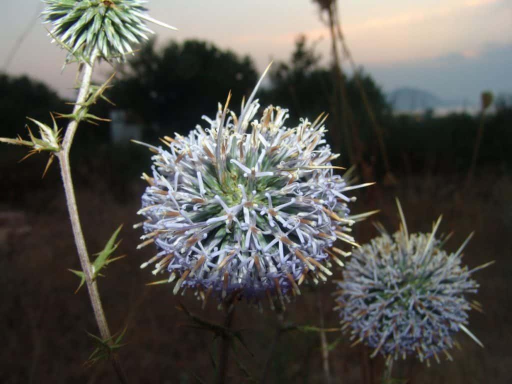 Blumen in Zypern