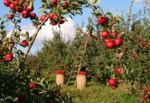 Apple Obstgarten Apfelbäume Rot Grün Leiter Ernte