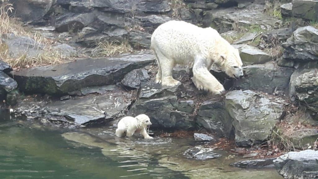 Eisbären Baby im Tierpark Berlin (Foto Hans-Peter Gaul)