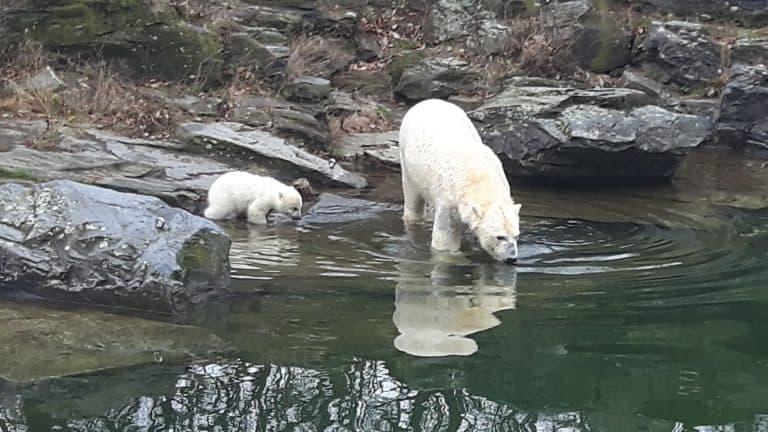 Eisbärbaby-Premiere im Tierpark Berlin
