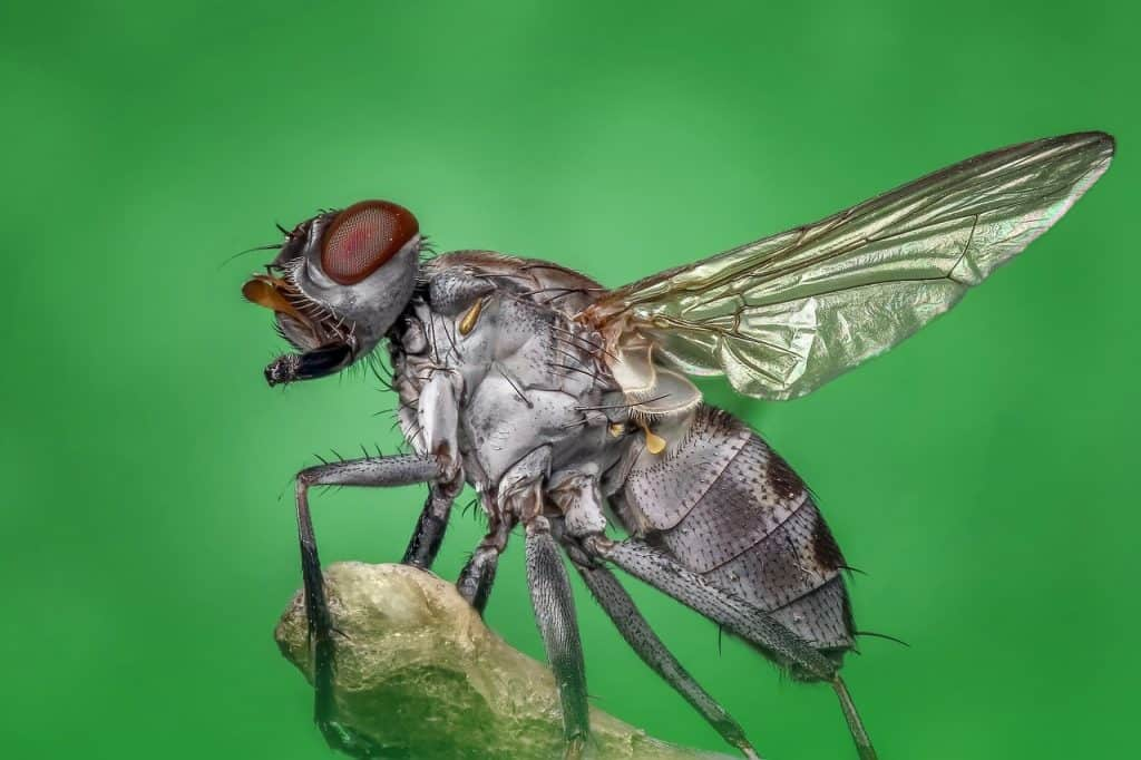 Stubenfliege Fliegen Makro Insekt Natur