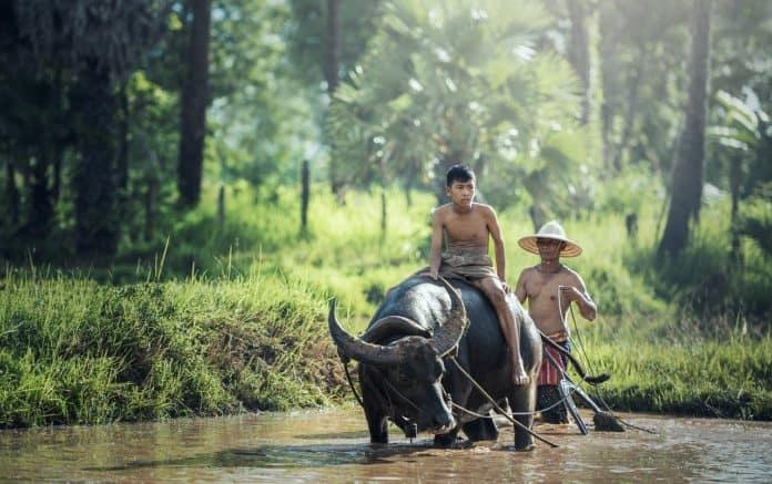 Buffalo Reiten Landwirtschaft Asien Kambodscha