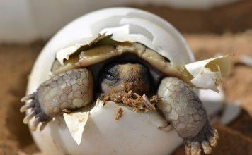 Wüstenschildkröte Schraffur Baby Jungtier Schale