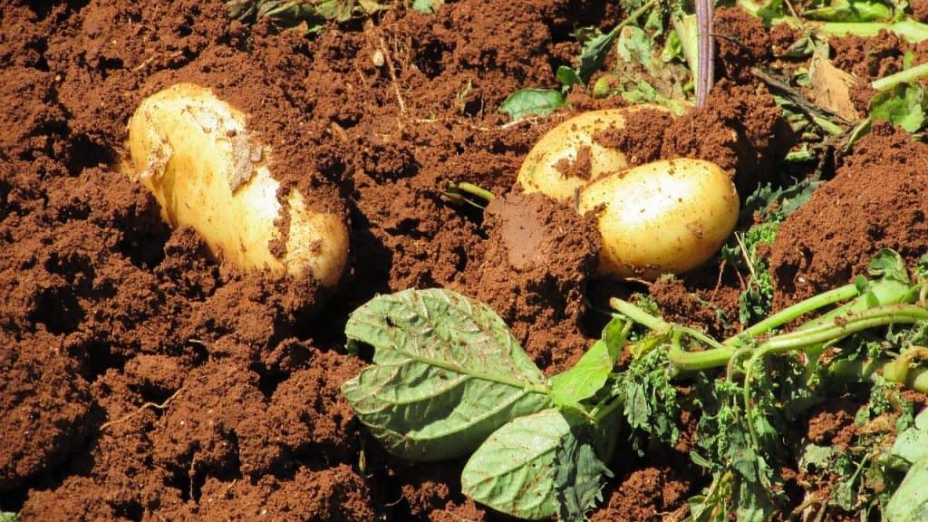 eigene Ernte verkaufen Kartoffeln Ernte Bauernhof Gemüse Landwirtschaft