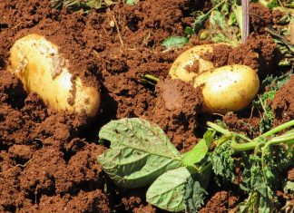 Kartoffeln Ernte Bauernhof Gemüse Landwirtschaft