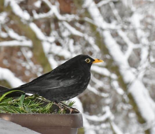 Amsel Schwarz Vogel Natur Tier Gefieder Schnabel