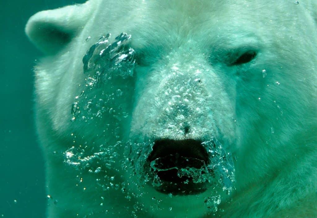 Eisbär Bär Atem Luftblasen Untergetaucht Wasser
