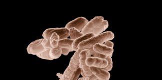 bakterien krankheit escherichia coli