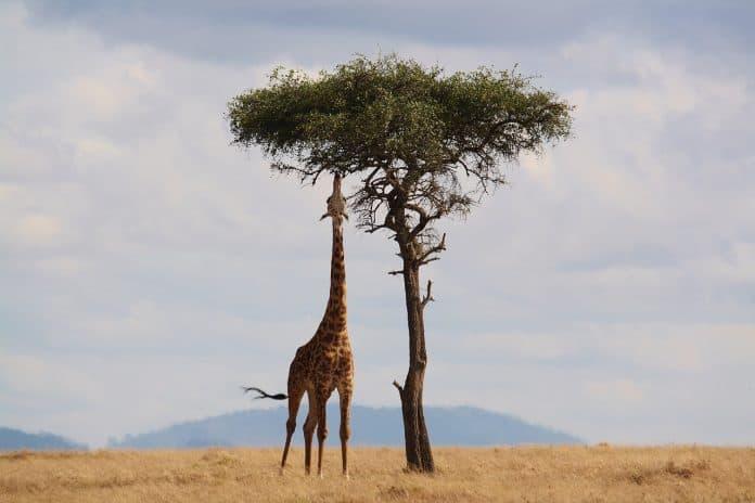 giraffe kenia afrika tierwelt safari hals hoch