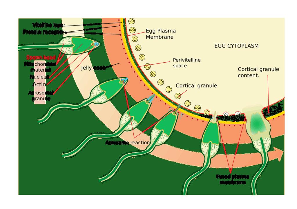 medizin wissenschaft diagramm biologie ei