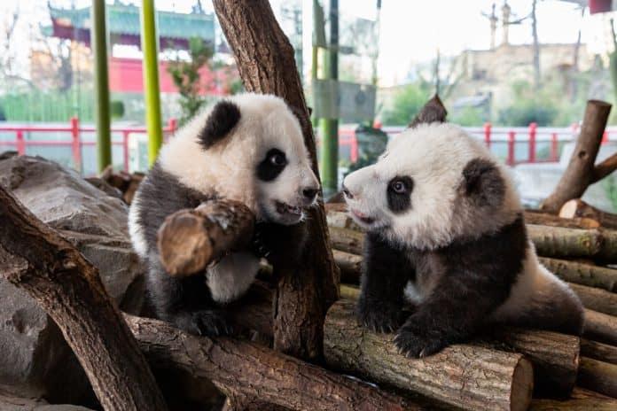"Panda-Zwillinge Meng Yuan und Meng Xiang in Berlin in ihrem Wohnzimmer"""". Foto: Zoo Berlin"