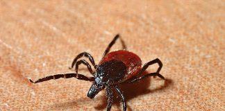 Tick Lyme-Borreliose Zecken Beißen Gefahr
