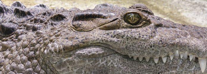Krokodil Zähne Reptil Alligator Gefährlich Tier