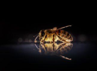 Honigbiene Biene Bienen Insekt Natur Makro Tier