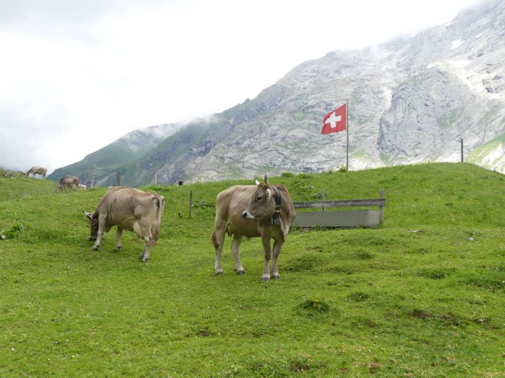 Kuh mit Schweizer Flagge