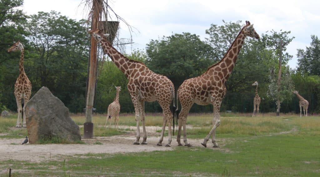 Tierpark Berlin (Giraffen-Familie 1)k