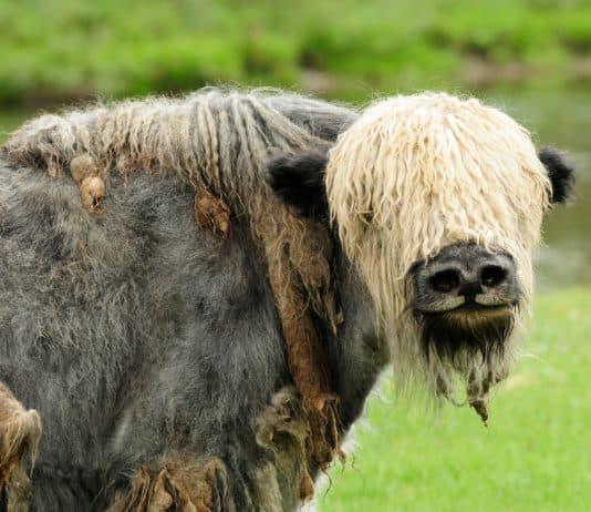 Viehwirtschaft Mongolei