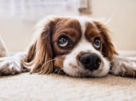 Hund Traurig Warten Boden Traurig Hund Haustier