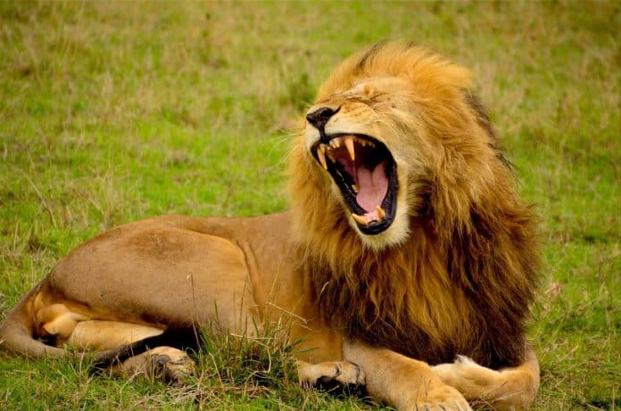 Löwe Mähne Tier Brüllen Zähne Wild