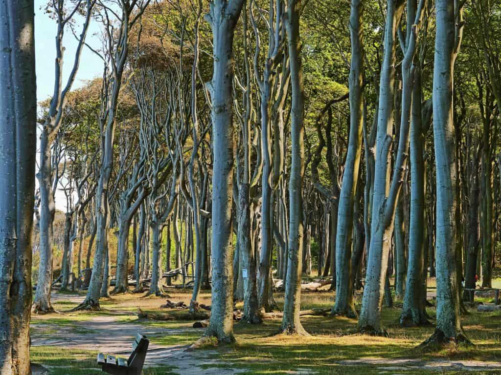 gespensterwald,nienhagen,ostsee,natur,wald,bäume,geäst,baumstamm,licht,landschaft,naturdenkmal,küste,ostseeküste,