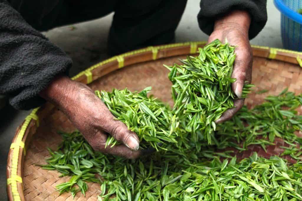 Grüner Tee verhindert Alzheimer und Parkinson?