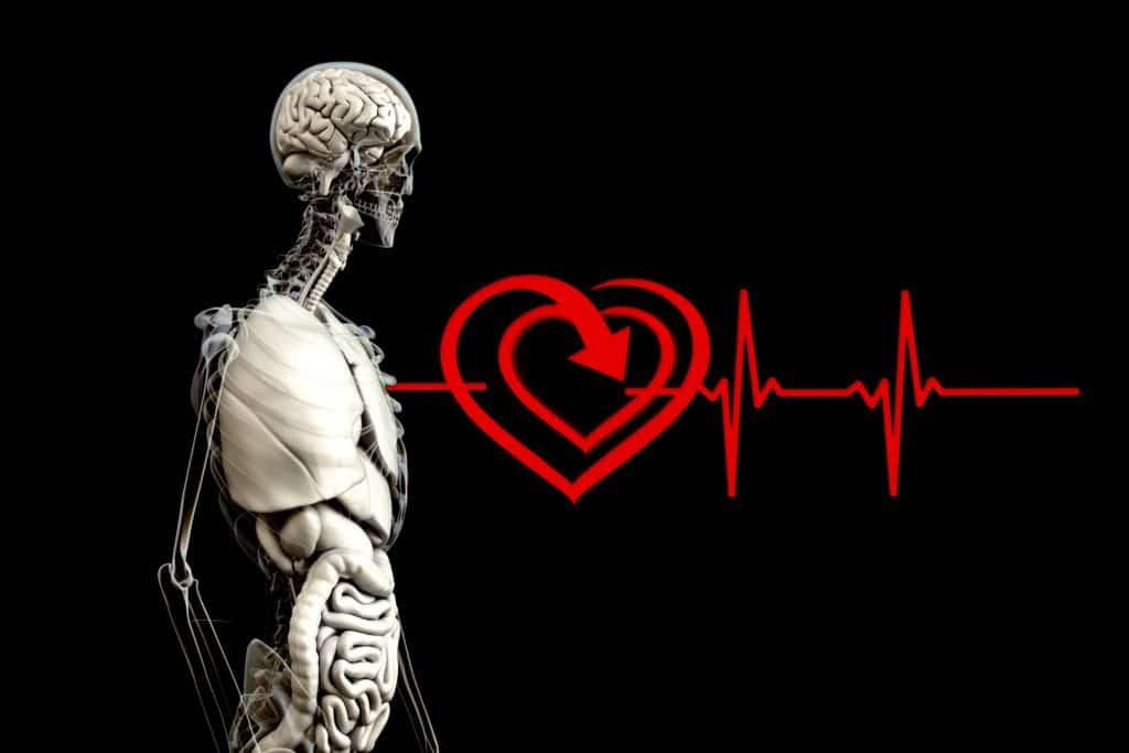 anatomie, mensch, herz