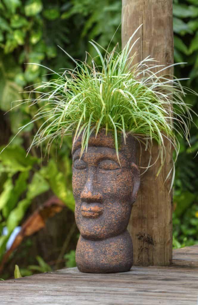topf kopf, polynesische, pflanze
