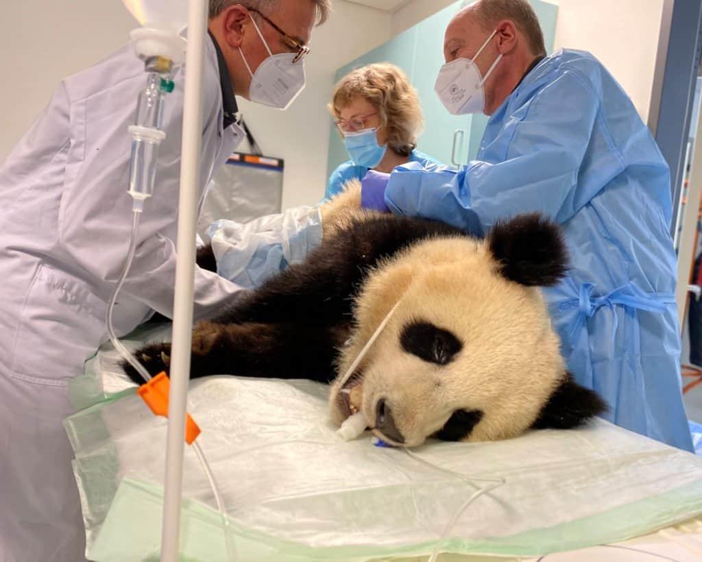 Panda Pit krank (Fotos Zoo Berlin, PM: Published by Zoologischer Garten Berlin AG)