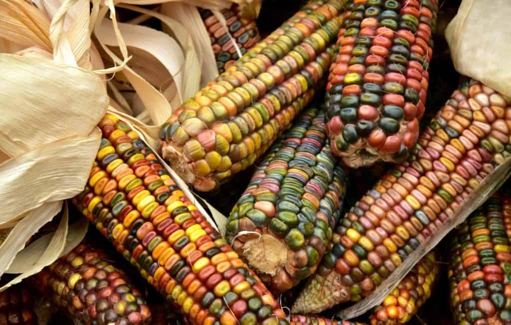 Biowindel aus Mais, mais, ernte, lebensmittel