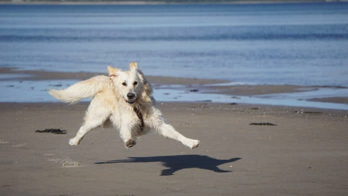 roboterhund, hund, golden retriever, haustier