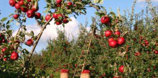 Urlaub auf dem Bauernhof,äpfel, obstgarten, apfelbäume